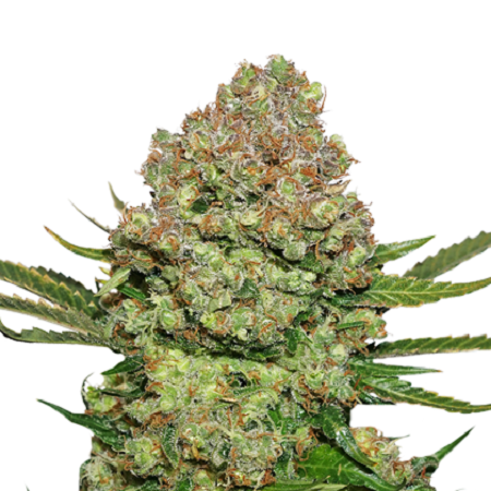 Seed Stockers Seeds White Widow Feminized