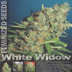 Homegrown Fantaseeds  White Widow Regular