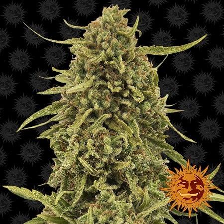 Barney's Farm Seeds Widow Remedy™ Regular