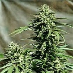 Emerald Triangle Seeds California Wildfire Regular