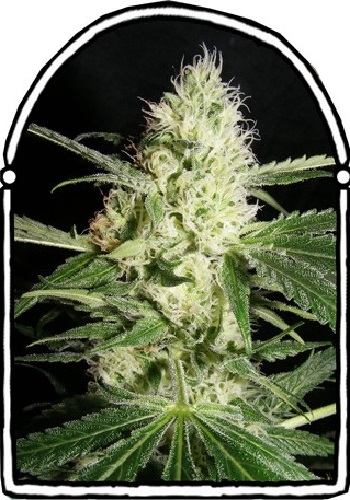 The KushBrothers Seeds Yellow Stone Feminized (PICK N MIX)