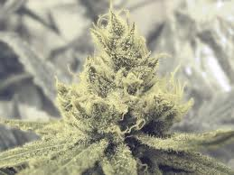 Medical Seeds Y Griega Feminized PICK N MIX