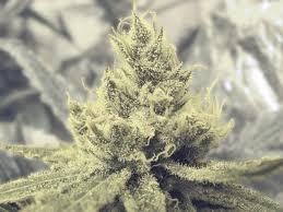 Medical Seeds Y Griega Feminized PICK N MIX
