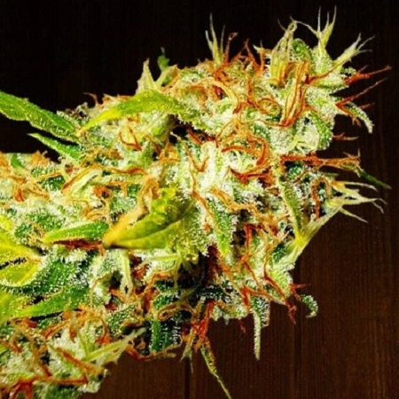 Ace Seeds Zamaldelica Feminized