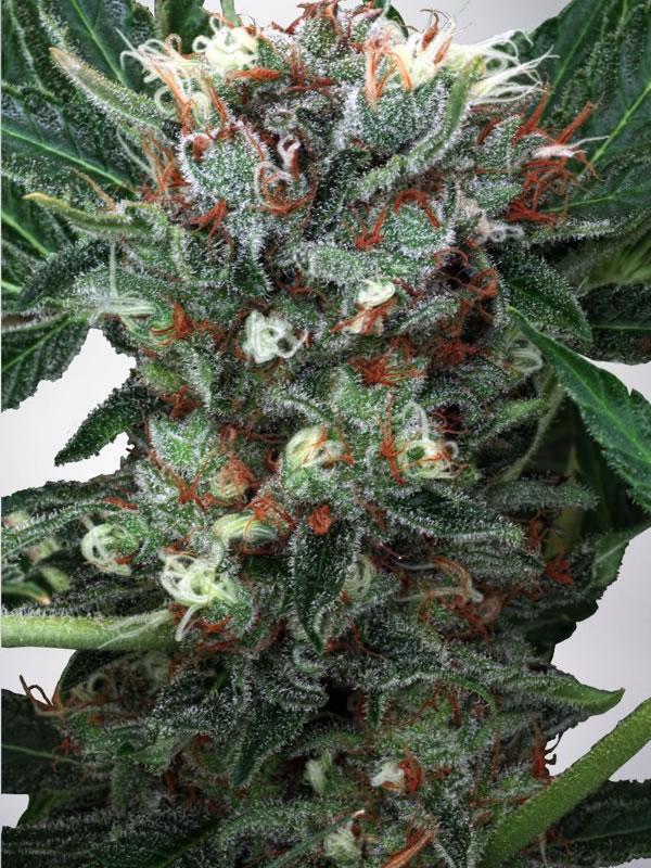 Ministry of Cannabis Seeds Zensation Feminized