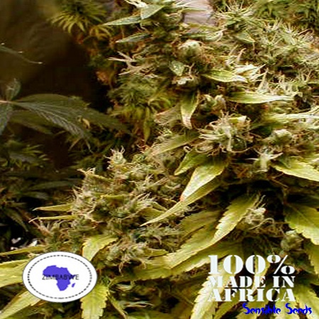 Seeds of Africa Seeds Zim-Licious Regular