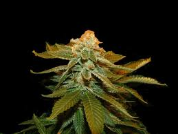 Genehtik Seeds - Zuri Widow Feminised