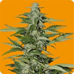 Seeds of Life Hindiana Auto Feminized Pick N Mix