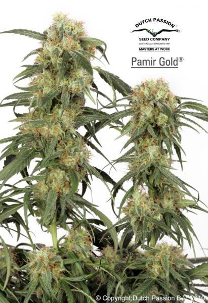 Dutch Passion Seeds Pamir Gold Feminized