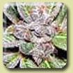 Sativa Seedbank - Blackberry Feminised