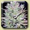 Sativa Seedbank - Blackjack Feminised