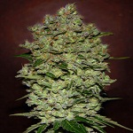 Advanced Seeds Auto Biodiesel Mass Feminised PICK N MIX