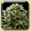 Dinafem Seeds Critical Jack Feminized (PICK N MIX)