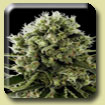 Dinafem Seeds Critical Jack Feminized
