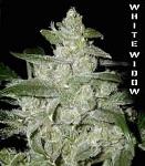 G13 Labs - White Widow Fem