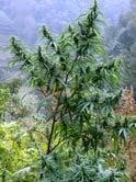 Sensible Seeds - Original Nepali Black Stem Regular
