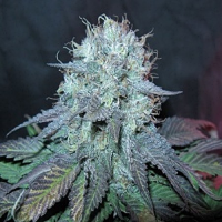 BC Bud Depot Seeds The Big Regular
