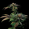 Dinafem Seeds Blue Widow Feminized (Pick n Mix)