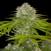 Dinafem Seeds Power Kush Feminized