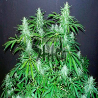 Flash Seeds Bubble Hash SuperAuto Feminized