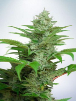Ministry of Cannabis Seeds Auto CBD Star Feminized