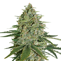 Seed Stockers Seeds Super Skunk Auto Feminized