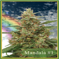 Mandala Seeds Mandala #1 Regular