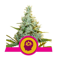 Royal Queen Seeds AMG - Amnesia Mac Ganja Feminized (PICK N MIX)