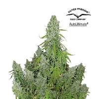 Dutch Passion Seeds AutoUltimate Feminized
