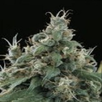 Sagarmatha Seeds Flow Regular