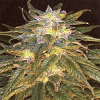 Jordan of the Islands Seeds Sapphire Star Regular