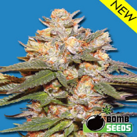 Bomb Seeds Big Bomb Auto Feminized