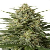 Dinafem Seeds White Widow XXL Auto Feminised