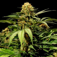 Bulldog Seeds Bullshark Feminized