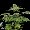 Dinafem Seeds Moby Dick Feminized