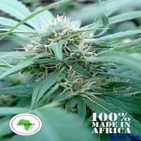Seeds of Africa Mozambica Regular