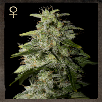 Strain Hunters Seeds Money Maker Feminised