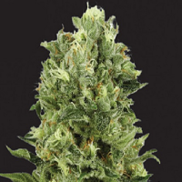 Kera Seeds White Thunder Feminized