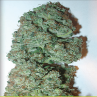 Homegrown Fantaseeds Super Crystal Feminized