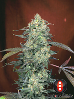 Serious Seeds AK-47 Feminized