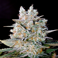 Genehtik Seeds Kritikal Bilbo Auto Feminised (PICK N MIX)