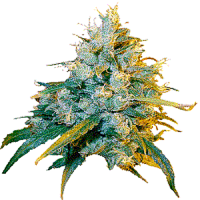 Secret Valley Seeds Jamaican Grape Regular