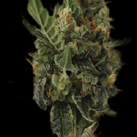Kera Seeds Cherry Grapefruit Feminized (PICK N MIX)
