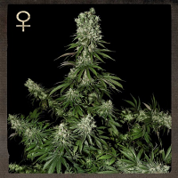 Strain Hunters Seeds White Strawberry Skunk Feminised
