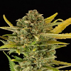 Dinafem Seeds Critical Cheese Auto Feminised