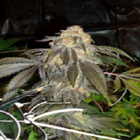 Connoisseur Genetics Seeds Grand Doggy Purps Feminized