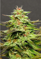 Big Head Seeds Julie's Cookies Feminized