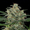 Dinafem Seeds Cheese Auto Feminized