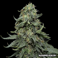 Kalashnikov Seeds Kabul Express Feminized (PICK N MIX)
