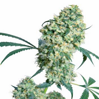 Ed Rosenthal Super Bud - Regular – Sensi Seeds